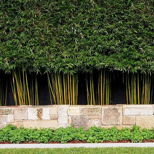100+ Semillas de Bambú Tejedores (Bambusa Textilis)