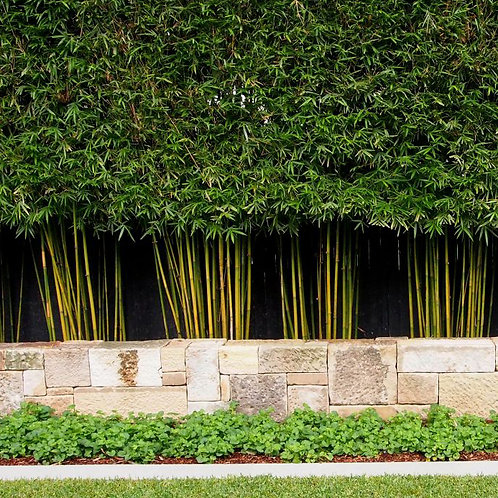 100 Weavers Bamboo Seeds (Bambusa Textilis)
