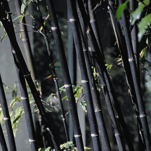 100 Black Bamboo Seeds Phyllostachys Nigra