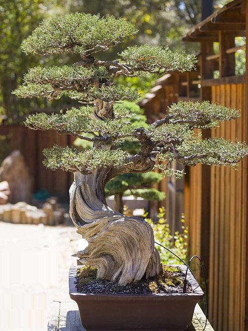 50+ Seeds Eastern Red Cedar (Juniperus Virginiana)