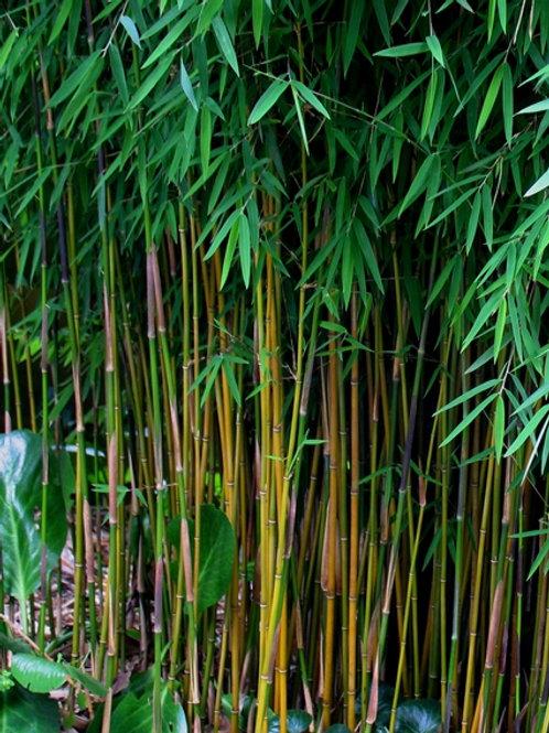 100 Black Bamboo Seeds (Fargesia Sp Jiuzhaigou 4)
