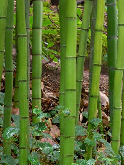 100 Sementes Bambu Madeira (Phyllostachys Vivax)