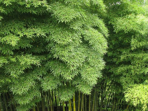 100 Sementes Bambu (Phyllostachys Pubescens)