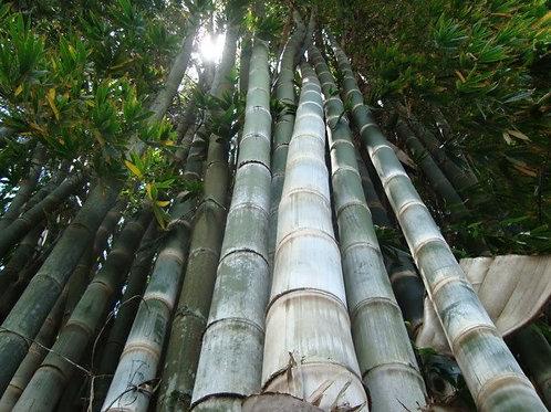 100+ Semillas de Bambú Gigante (Dendrocalamus Giganteus)