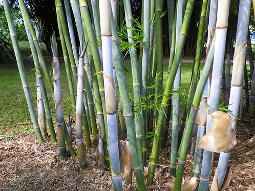 100 Blue Timber Bamboo Seeds (Bambusa Chungii)