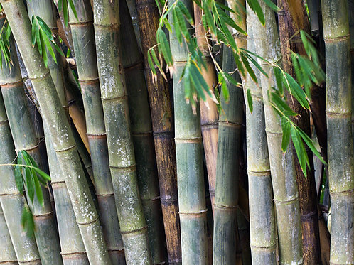100 Giant Bamboo Seeds (Dendrocalamus Asper)