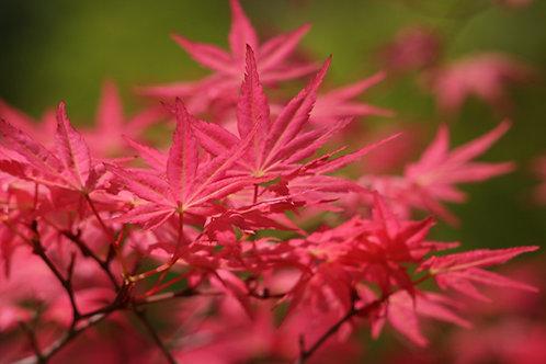100+ Semillas de Arce Japonés (Acer Palmatum)