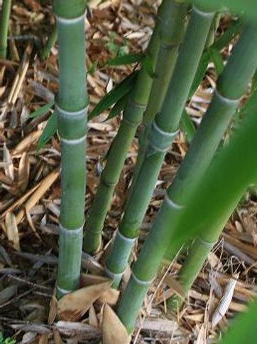 100+ Semillas de Bambú (Phyllostachys Heteroclada)