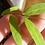Thumbnail: 100 Bamboo Seeds (Fargesia / Borinda Fungosa)
