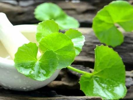 ברהמי - בואו תכירו עוד צמח איורוודי