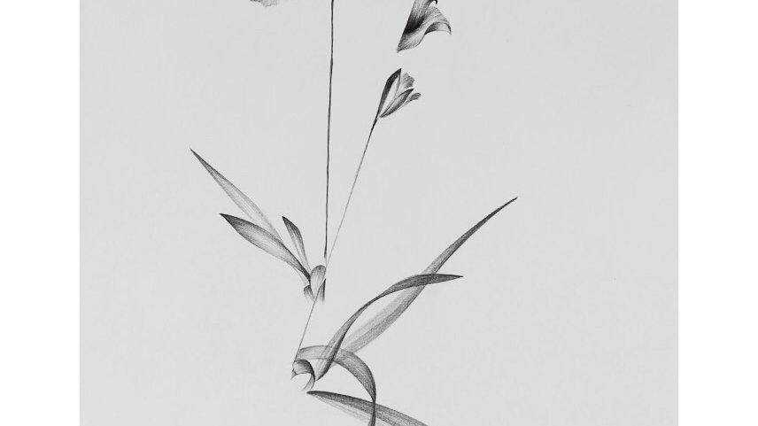 Acanthephippium (Orquídea)
