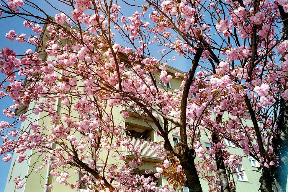 rosablumen_klein.jpg