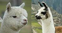 Llama_Alp-1200x644-1200x644.jpg
