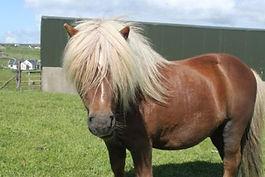 falabella-pony.jpg