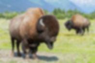 bison-1-300x200.jpg