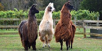 divine-llama.jpg