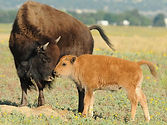 mother_baby_bison.jpg