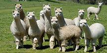 Alpacas_in_field_22_N21_2048x.jpg