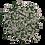 Thumbnail: Cactus rond