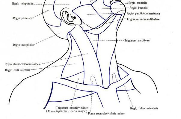 Треугольники шеи