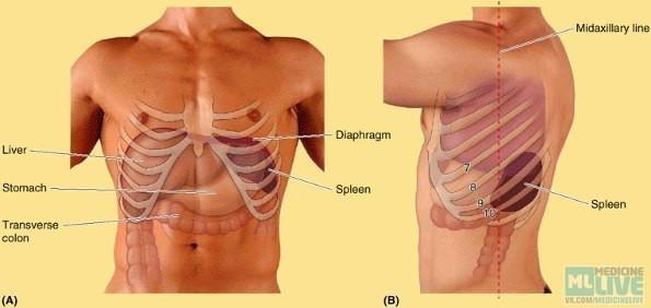 Проекции внутренних органов