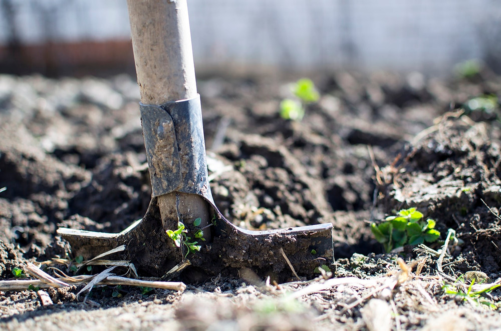 Spade in ground with seedlings
