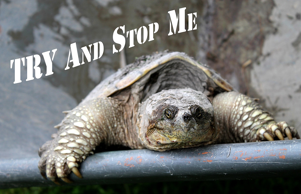 Tortoise looking tired and saying try and stop me to viewers