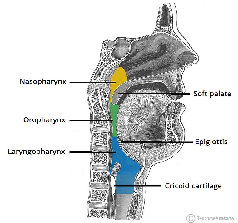 The-Three-Parts-of-the-Pharynx-Nasophary