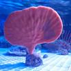 Orange Sea Fan Coral