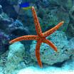 Red Linkia Starfish