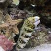 Snowflake Eel and Starfish