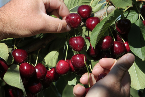 Cherries fresh from the tree
