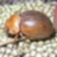cromwell_chafer_closeup.jpg