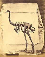 heavy-footed-moa-fossil-skeleton-the-get