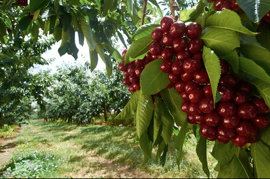 Jakimm Ultimate Cherries