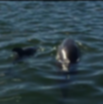 dolphins, Don Pedro Island State Park