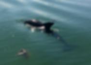 dolphin, englewood florida