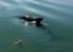 dolphins, florida