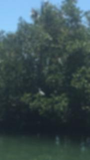 White Snowy Egret, Englewood, Stump Pass