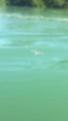 Shark, Boca Grande