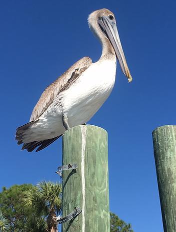 pelican, Englewood, tours