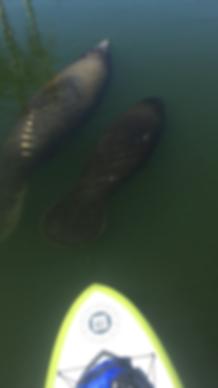 manatee, paddleboard, Boca Grande