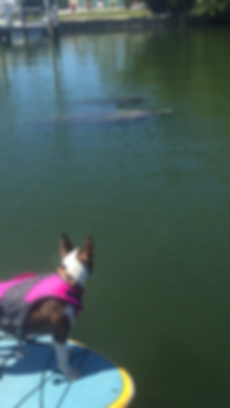 Bull terrier, paddleboard tour, manatee, Boca Grande