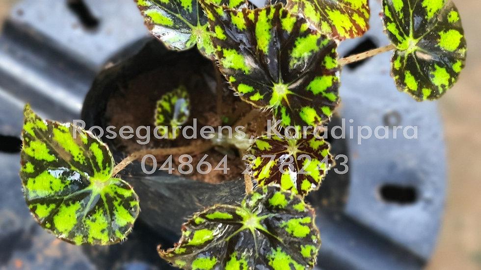 Begonia B11