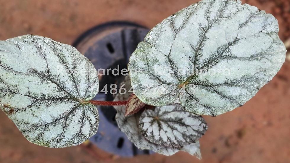 Begonia B20