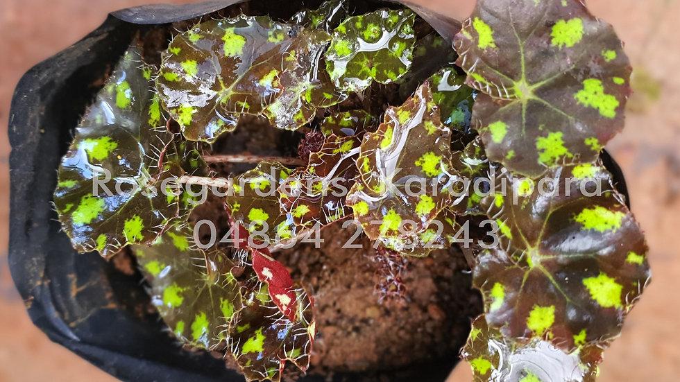 Begonia B31
