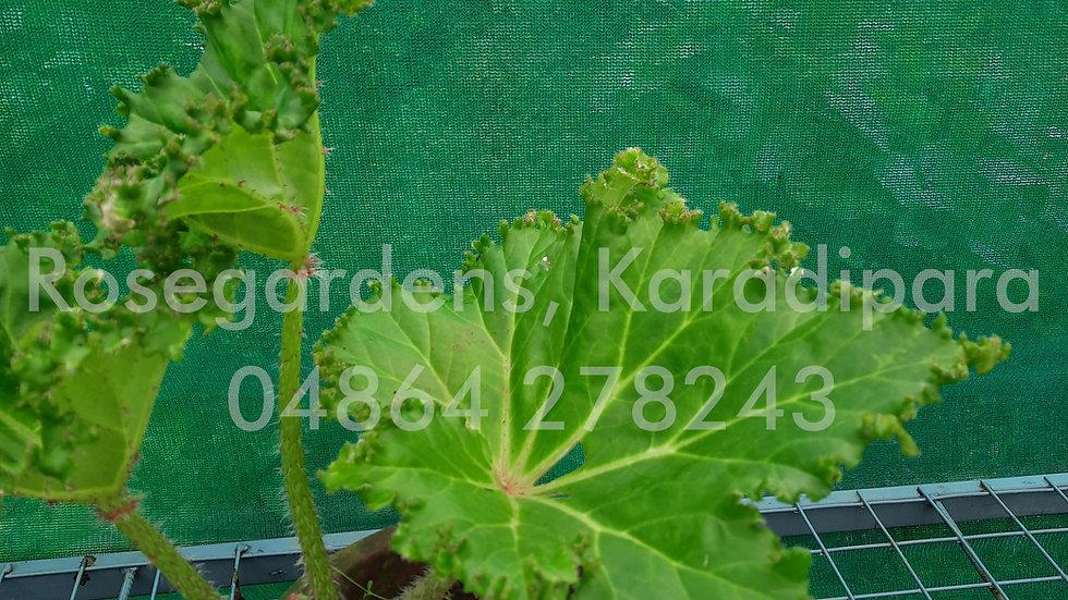 Begonia B21