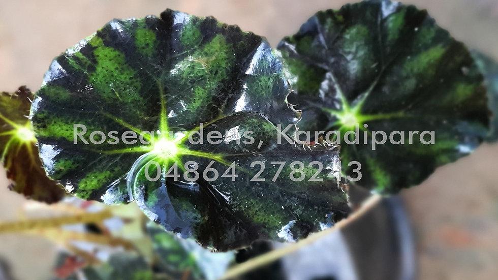 Begonia B26