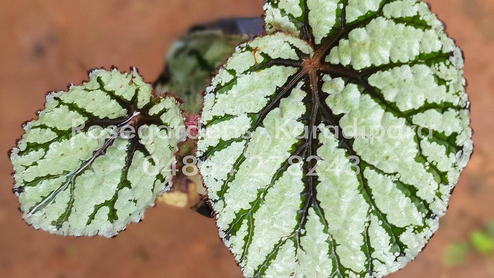 Begonia B43