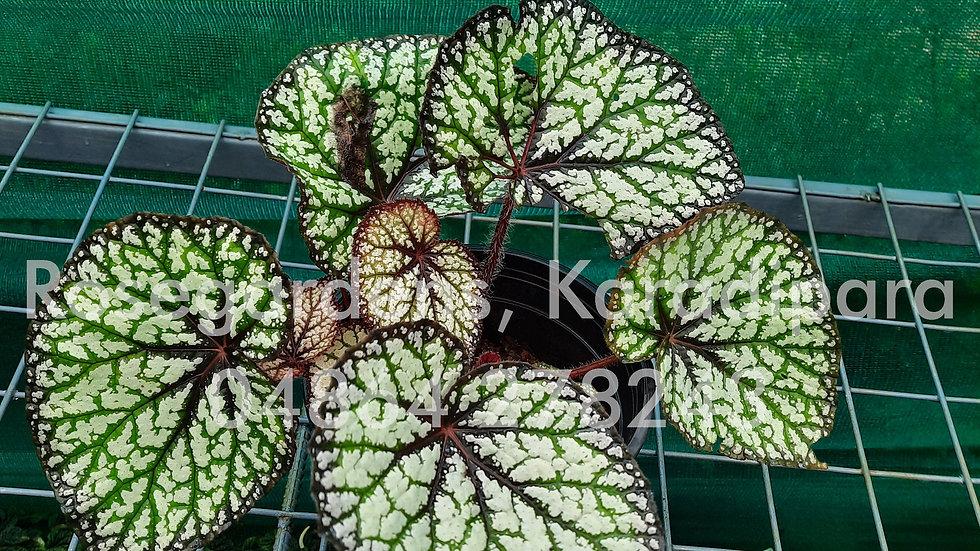 Begonia B25